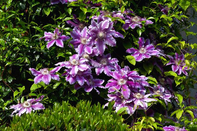 variegated pink Clematis