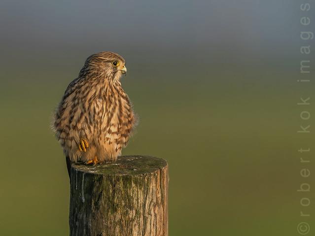 European Kestrel / Falco tinnunculus!