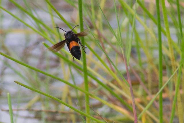 banded hornet, Vespa species.