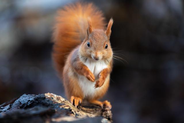 New species: Golden squirrel