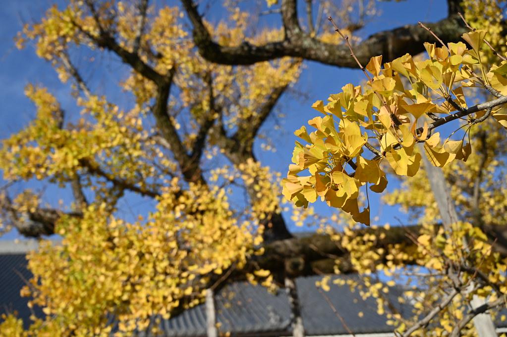 西本願寺の大イチョウ
