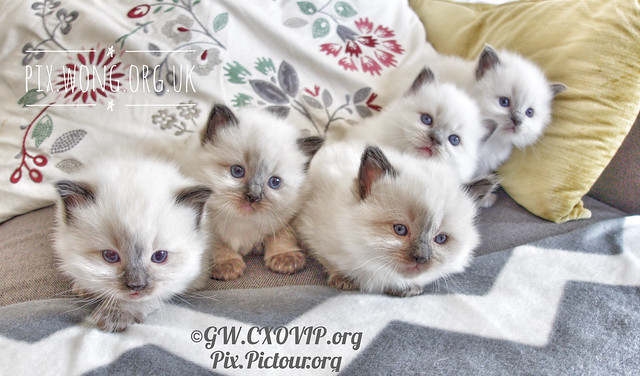 Our first and last litter of home bred/grown Ragdoll kittens, some now residing in different continents