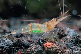 Sun Stripe Sulawesi Shrimp (Caridina profundicola) - Caridina-profundicola-20201207_151744