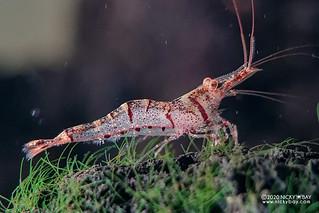 Six Banded Sulawesi Shrimp (Caridina holthuisi) - Caridina-holthuisi-20201207_235410