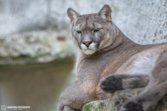 Puma / Mountain Lion - Pakawi Park - Belgium