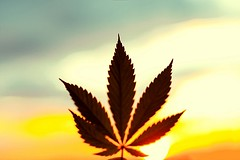 Cannabis leaf, background image. Themed photos of cannabis plants and marijuana at sunrise. Premium product CBD - Cannabidiol. Blurred background with copy space