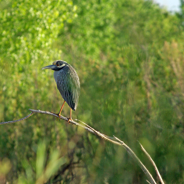 Yellow-crowned Night-heron (Nyctanassa violacea). Bosque del Apache National Wildlife Refuge, New Mexico, USA.
