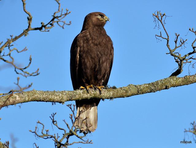 dark morph Rough -legged Hawk