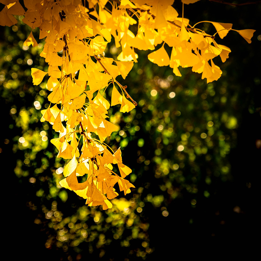 Yellow Gingko Leaves-940307-2