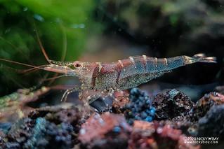 Six Banded Sulawesi Shrimp (Caridina holthuisi) - 20201208_083530