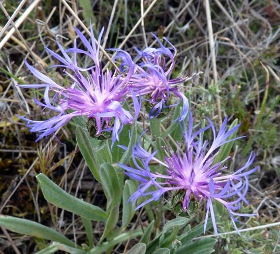 Centaurea triumfettii 50693560743_ef6a38ce5a_o