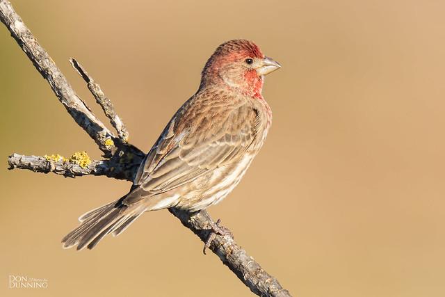 Male House Finch (Haemorhous mexicanus)