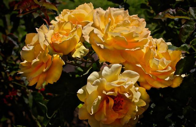 Rosa Sunshine Daydream Roses