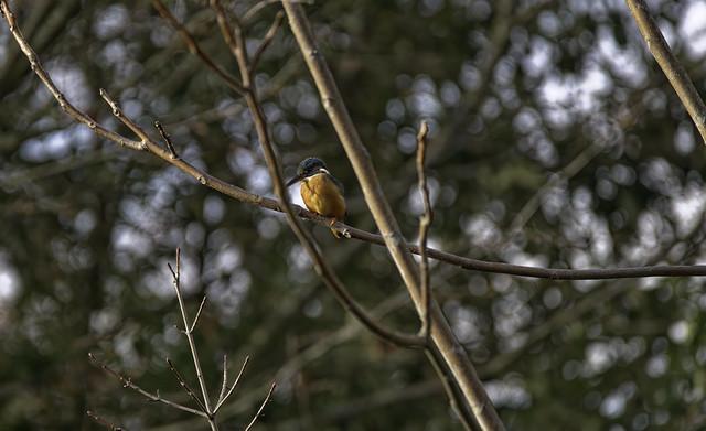 a Common Kingfisher (F) - un Martin Pecheur (F)