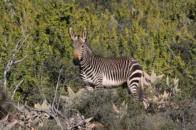Camdeboo National Park: Mountain Zebra
