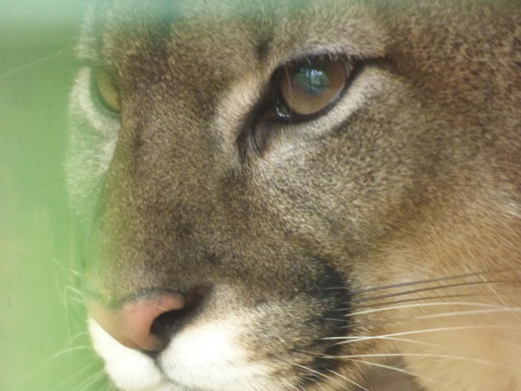 Puma im Tierpark Hamm