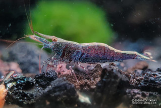 Six Banded Sulawesi Shrimp (Caridina holthuisi) - 20201208_220442