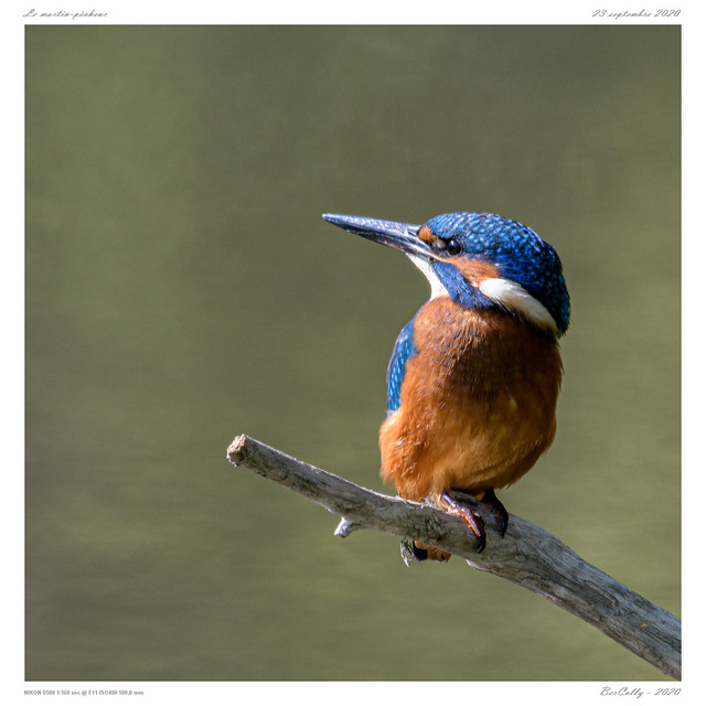 Le martin-pêcheur | common Kingfisher