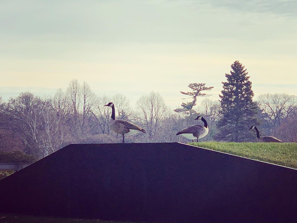 My fine feathered geese friends