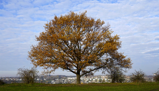 Tree Maastricht St pietersberg