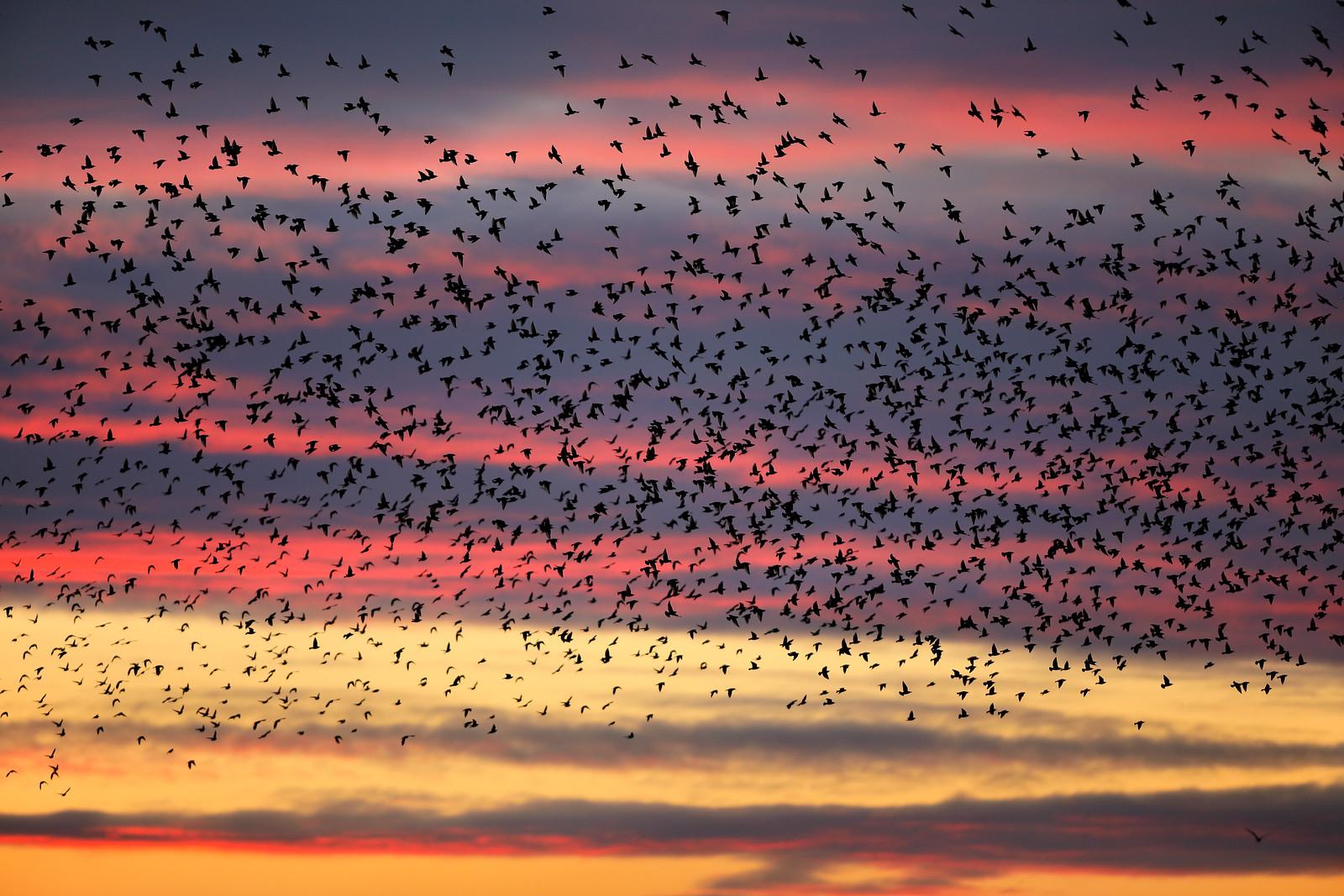 Starling Murmuration at Sunset - Brighton 2020
