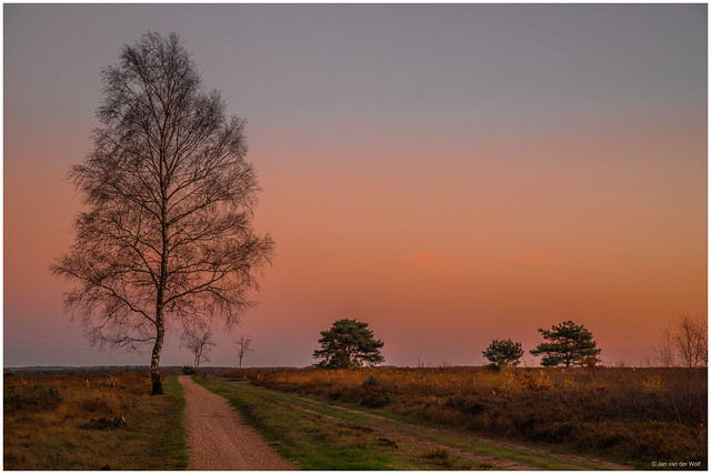 A colorful heather landscape in the evening