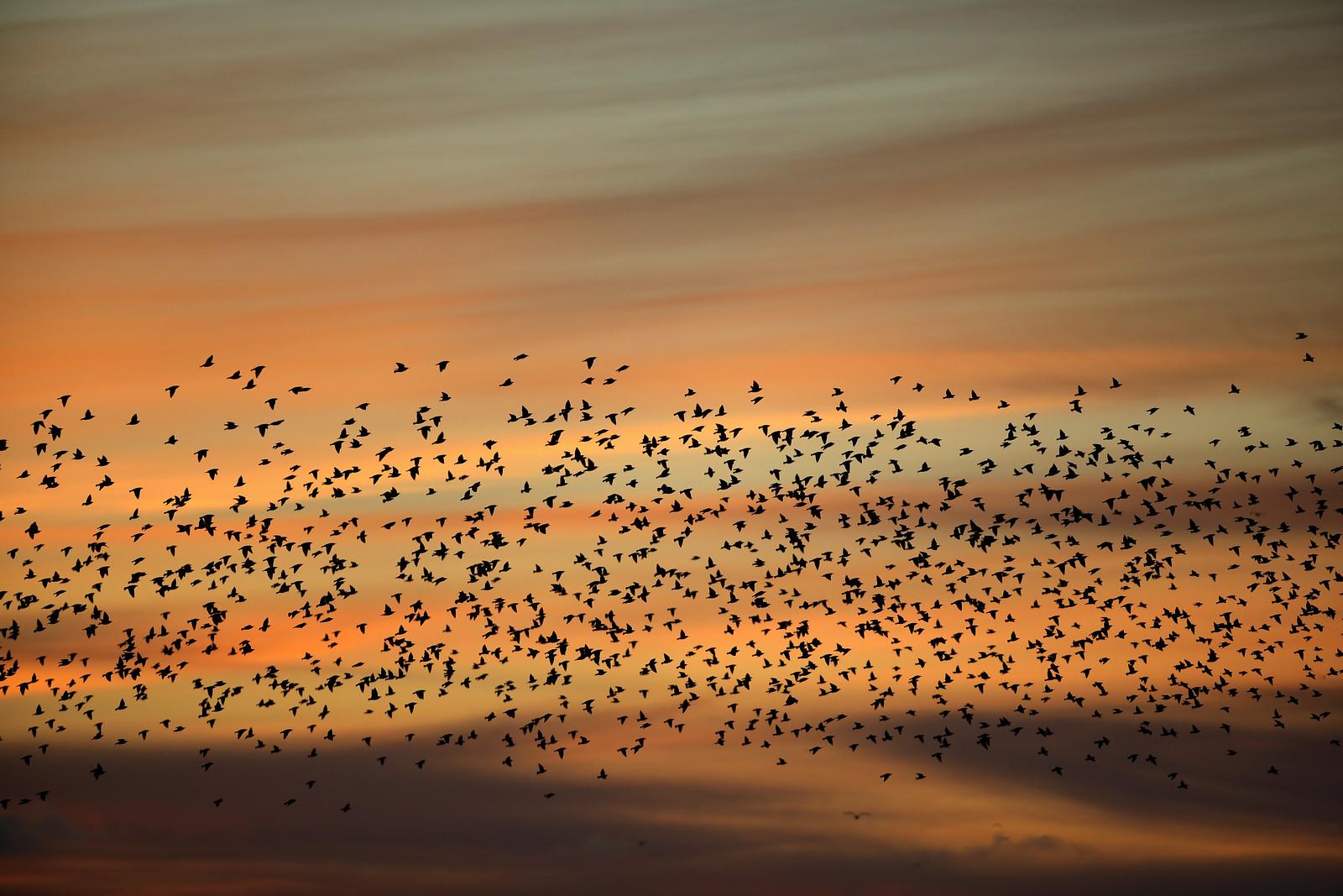 Starlings and Jovian Sky