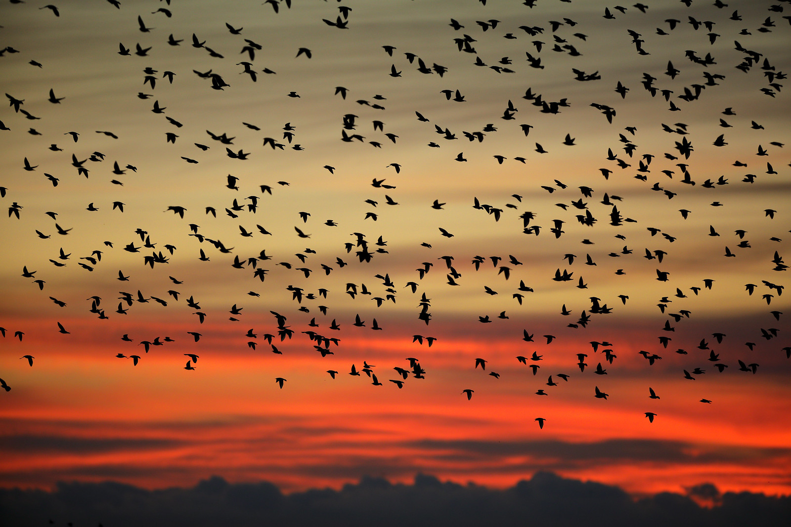 Starling Murmuration and Red Sky