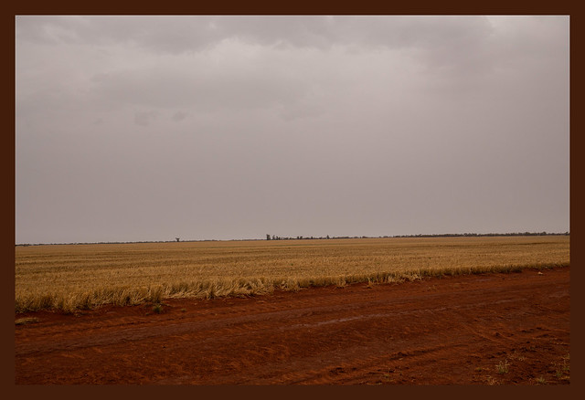 Rain over the wheatfield
