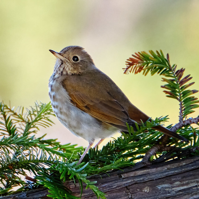 Perched: Hermit Thrush