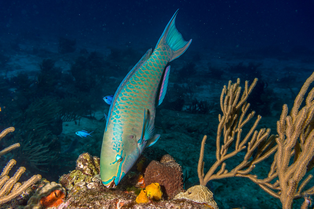 Queen Parrotfish takes a bite