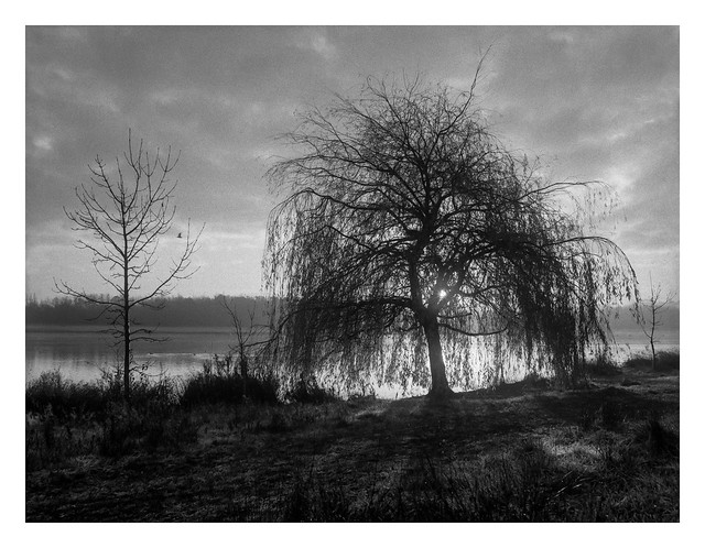 Rother Valley willow