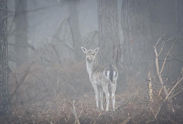Fawn-in-fog_6044