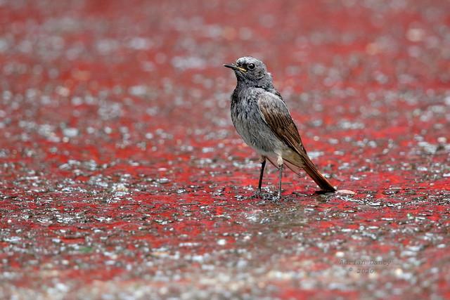 9P1A7362 Black Redstart, (Phoenicurus ochruros) male.