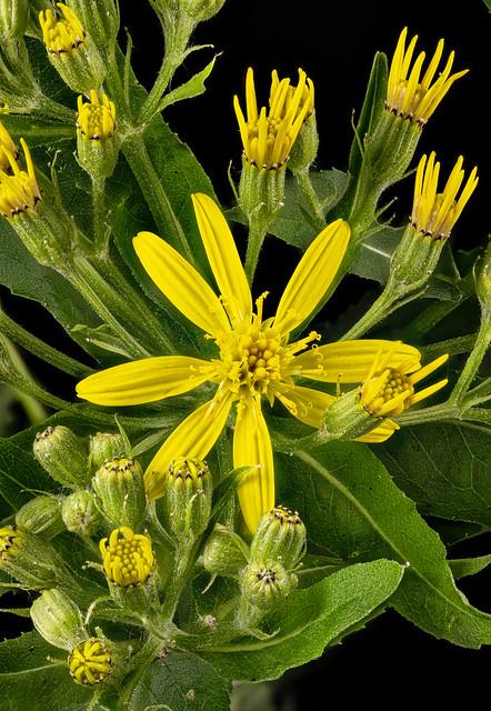 Senecio sarracenicus