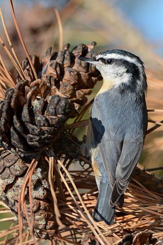 birds nikon nikond7100 tamronsp150600mmf563divc jdawildlife johnny jonesbeachliny portrait closeup eyecontact nuthatches nuthatchredbreasted redbreastednuthatch