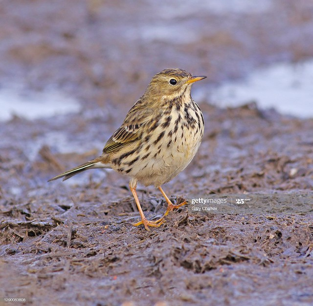 Meadow Pipit