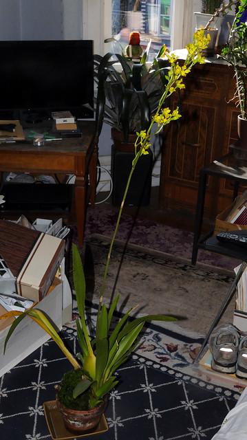 free-standing spike, Cyrtochilum revolutum species orchid 11-20