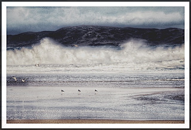 Oystercatchers at home in gale force winds