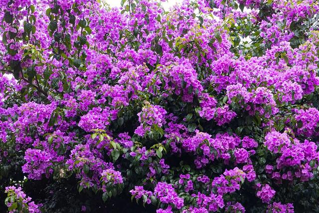 Purple Bougainvillea