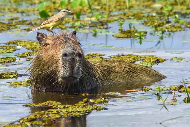 Carpincho y Picabuey // Capybara and Cattle Tyrant (On Explore! ⭐ December 9, 2020)