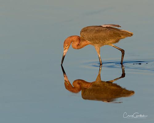 bunchebeach sanibel egret reddishegret water reflection bird avian nature wildlife animal nikon d850