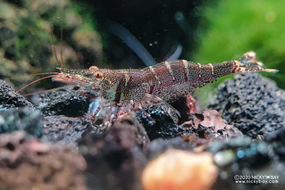 Six Banded Sulawesi Shrimp (Caridina holthuisi) - 20201209_171705