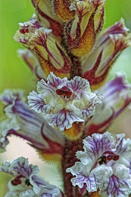 Orobanche crenata