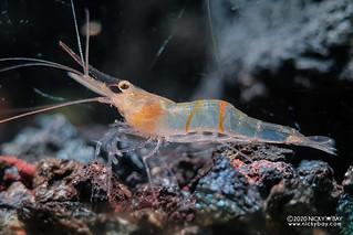 Sun Stripe Sulawesi Shrimp (Caridina profundicola) - 20201209_214131
