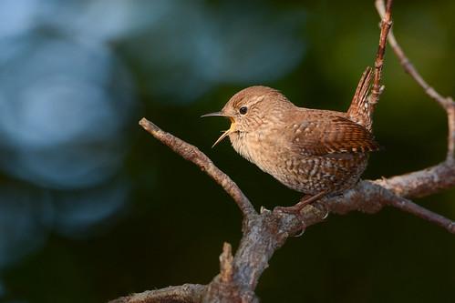 birds nikon nikond7100 portrait closeup eyecontact johnny wrens winterwren wrenwinter tamronsp150600mmf563divc jdawildlife wow gorgeous