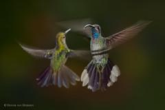 Dance of the fragile fairies