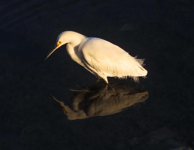 Snowy egret, late afternoon light, Lake Merritt, Oakland, California