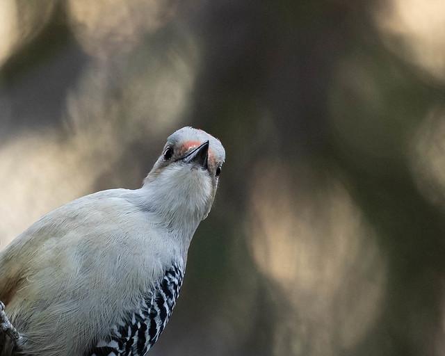 Red-bellied Woodpecker stare