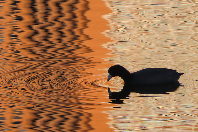 Coot on Lake Merritt, with apartment building reflections, Oakland, California